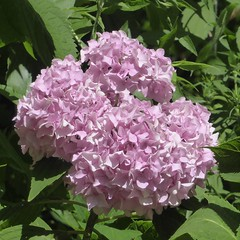 Chicago, Lincoln Park Zoo, Pink Hydrangea Flowers (Mary Warren 14.7+ Million Views) Tags: chicago lincolnparkzoo nature flora plant pink blooms blossoms flowers hydrangea