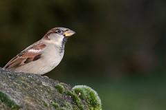 Huismus (jandewit2) Tags: huismus mus bird vogel housesparrow natuur nederland netherlands natuurmonumenten nikon haussperling