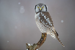 Chouette épervière 1 (jlf_photo) Tags: northern hawk owl chouette épervière hibou quebec canada wildlife wild faune sauvage
