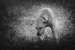 Whoosh (aveyardphotography) Tags: whoosh splash lab labrador yellow young water drops droplets ball play mono monochrome black white blackandwhite dog nature animal ears bokeh shallow focus shake shaking retriever