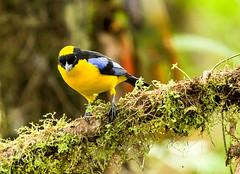 0P7A2141  Blue-winged Mountain Tanager, Ecuador (ashahmtl) Tags: bluewingedmountaintanager bird tanager songbird anisognathussomptous santadeo pichinchaprovince ecuador