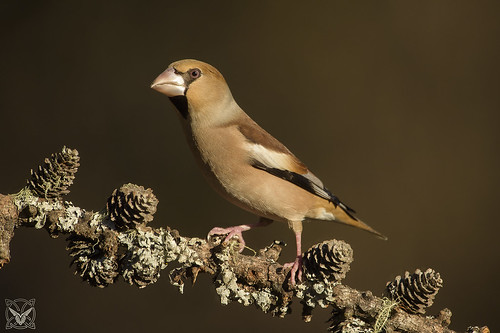 Coccothraustes coccothraustes, Frosone, Gros-bec casse-noyaux, Hawfinch