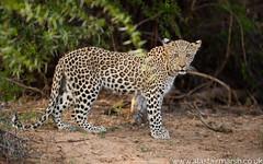 Leopard Cub (Alastair Marsh Photography) Tags: leopard leopards mammal mammals africa africanwildlife africanmammal africanmammals animal animals animalsintheirlandscape wildlife photography travelphotography wildlifephotography cub cubs leopardcub leopardcubs