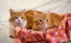 🐱🐱❤❤ (En memoria de Zarpazos, mi valiente y mimoso tigre) Tags: catsfriends lovefeline gingercats gino spritz bed ♥ nikon ilovemycat iragatti