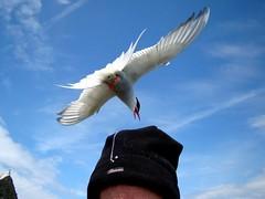 Hat essential (ericy202) Tags: arctic tern flight dive bombing hat blue sky farne islands national trust