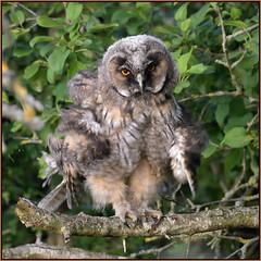 Long-eared Owl (image 1 of 3) (Full Moon Images) Tags: wildlife nature bird birdofprey cambridgeshire fens longeared owl