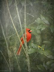 Our Traditional Christmas Cardinal (paulgarf53) Tags: bird birds cardinal northerncardinal red nature florida topaz topazstudio2 nikon d700 wildlife