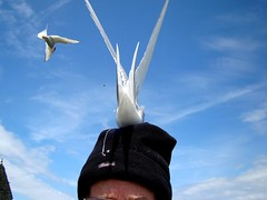 Hat's needed (ericy202) Tags: arctic tern flight dive bombing hat blue sky farne islands national trust