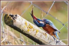Martin-Pêcheur poisson 200101-06-P (paul.vetter) Tags: nature faune oiseau vogel bird martinpêcheur alcedoatthis commonkingfisher martínpescadorcomún guardarios eisvogel alcédinidé