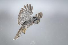 Chouette épervière 2 (jlf_photo) Tags: northern hawk owl chouette épervière hibou quebec canada wildlife wild faune sauvage