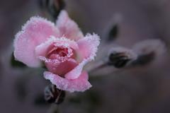 le jour d'après (christophe.laigle) Tags: christophelaigle fuji xpro2 xf60mm fleur flower frost frosty givre hiver macro nature pink pinkrose redrose rose winter
