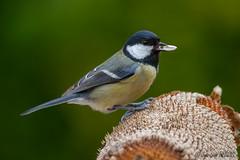 Mésange Charbonnière (jean-louis21) Tags: oiseaux mésange charbonnière graine tournesol bec