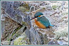 Martin-Pêcheur 200101-11-P (paul.vetter) Tags: nature faune oiseau vogel bird martinpêcheur alcedoatthis commonkingfisher martínpescadorcomún guardarios eisvogel alcédinidé
