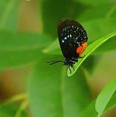 Atala Eumaeus butterfly at the Oleta river state park .Miami , Florida. #butterfly #atala #lepidoptera #insect #bug #florida #nature #wildlife #wild #life #sonyrx10iv #6400iso #red #black #autumn #fall #cute #love #animal #photography #art #vision #light (Caracalla9) Tags: love photooftheday florida naturephotography lepidoptera cute sun atala life sonyrx10iv 6400iso red travelphotography fall butterfly insect photographer wildlife art nature black photo creative vision bug light animal autumn wild photography