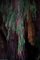 Como lágrimas verdes (Blas Torillo) Tags: oaxaca méxico mexico tule árbol tree ramas branches hojas leaves naturaleza nature verde green ahuehuete exteriores outdoors luznatural naturallight belleza beauty beautiful arte art fineart fineartphotography fotografíaprofesional professionalphotography fotógrafosmexicanos mexicanphotographers nikon d5200 nikond5200