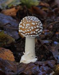 Panthercap (Amanita pantherina) (Colin Pinchen) Tags: fungi fungus mushroom toadstool wiltshire england macro colin pinchen ef100mmf28lisusmmacro panthercap amanitapantherina