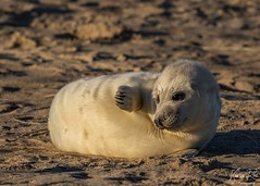 Grey Seal Pup in Golden Sunrise (Karen Roe) Tags: greyseal grey seal pup young canon 7d mkii mark2 canon7dmkii 150600mm sigma zoom telephoto december 2019 winter season norfolk county britain greatbritain gb uk unitedkingdom outside outdoor day camera photo photography photograph photographer picture capture image snap shot karenroe female flickr visit visitor wildlife wild nature natur naturephotography national animal life cute colours naturaleza eos light sea coast beach happy cold weather