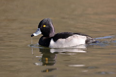 Ring-necked Duck, Male (brian.bemmels) Tags: ringneckedduck duck aythyacollaris aythya collaris ringnecked nature fauna outdoors outside wildlife bird birdsofbc reifelbirdsanctuary delta bc britishcolumbia canada