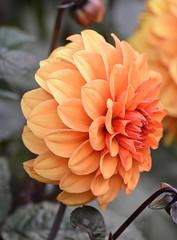 Dahlia (MJ Harbey) Tags: flower dahlia orangedahlia eudicot asterales asteraceae helianthodae canonsashby nationaltrust northampton nikon d3300 nikond3300