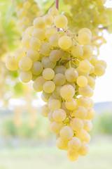 IMG_4001 (gregor.silvestri) Tags: wine grape vineyard austria autumn herbst weinlese weingarten weintraube langenlois zöbing niederösterreich weloveaustria