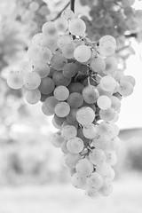 IMG_4001-3 (gregor.silvestri) Tags: wine grape vineyard austria autumn herbst weinlese weingarten weintraube langenlois zöbing niederösterreich weloveaustria