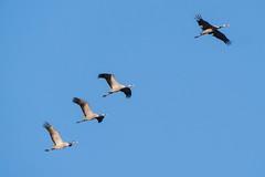 Grues cendrés (Marc ALMECIJA) Tags: grue grus outdoor outside oiseau oiseaux bird vogel wildlife panasonic g9 100400 camargue nature natur aves ciek bleu blue sky