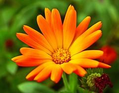 Rising sun (L@nce (ランス)) Tags: macro bokeh micro flower orange closeup nikon nikkor canada britishcolumbia victoria