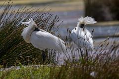 Bad Hair (Feather) Day (gecko47) Tags: animals birds shorebirds waders platalearegia wind feathers disarray poriruaharbour wellington newzealand royalspoonbills reeds wetland pauatahanuiwildlifereserve