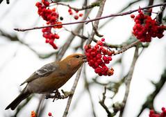 Pine grosbeak (Pinicola enucleator) Tallbit.jpg (Peter Pea olsson) Tags: fåglar sweden värmdö 2019 ösbyskolan pinegrosbeak uppland