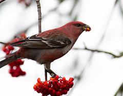 Pine grosbeak (Pinicola enucleator) Tallbit-7.jpg (Peter Pea olsson) Tags: fåglar sweden värmdö 2019 ösbyskolan pinegrosbeak uppland