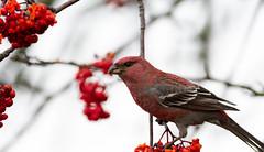 Pine grosbeak (Pinicola enucleator) Tallbit-8.jpg (Peter Pea olsson) Tags: fåglar sweden värmdö 2019 ösbyskolan pinegrosbeak uppland