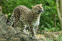 Amur leopard (K.Verhulst) Tags: amurleopard amoerpanter panter leopard cats blijdorp blijdorpzoo diergaardeblijdorp rotterdam