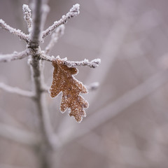 Feuille de chêne *---- ---° (Titole) Tags: oak leaf frosted frost branches titole nicolefaton squareformat brown friendlychallenges miksang gamesweepwinner