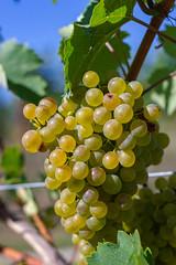 IMG_3838 (gregor.silvestri) Tags: wine grape vineyard austria autumn herbst weinlese weingarten weintraube langenlois zöbing niederösterreich weloveaustria