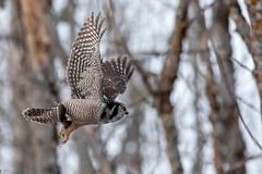 Northern Hawk Owl & Passenger (NicoleW0000) Tags: northernhawkowl owl raptor bird prey inflight woods forest rarebird boreal ontario
