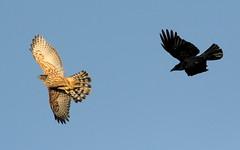 Goshawk (Accipiter gentilis)   Juv  Male (minvallaa) Tags: goshawk juv male wild newforest accipiter gentilis raptor hunting bird prey winter mobbed