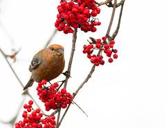 Pine grosbeak (Pinicola enucleator) Tallbit-5.jpg (Peter Pea olsson) Tags: fåglar sweden värmdö 2019 ösbyskolan pinegrosbeak uppland