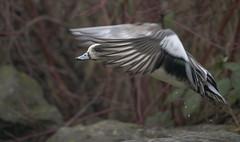 Peeking through (woodwindfarm) Tags: american wigeon flight bird bif