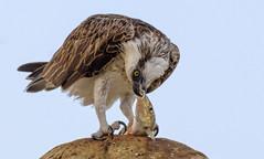 evening  meal  -  eastern osprey #1 (Fat Burns ☮) Tags: easternosprey pandioncristatus bird australianbird fauna australianfauna wildlife australianwildlife raptor osprey nikond500 nikon20005000mmf56vr herveybay queensland australia
