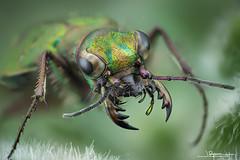 Cicindela Campestris (quenoteam) Tags: mitutoyo stacking beetle color macro closeup
