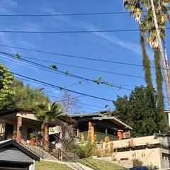 fullsizeoutput_a22d (lnewman333) Tags: highlandpark losangeles nela northeastlosangeles usa ca socal southerncalifornia wildparrots parrots redcrownparrot birds