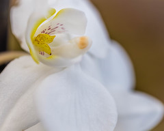 Winter Orchid (risaclics) Tags: 60mmmacro closeup january2020 nikond610d flora flowers orchid white winter lookingcloseonfriday