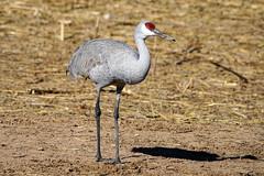 Sandhill Crane Pose - Bosque Del Apache (Bernie Duhamel) Tags: sandhillcrane bird migration bosquedelapache sanantonio newmexico sonya9 sonyfe100400mm portrait bernie duhamel greatphotographers teamsony sunshine