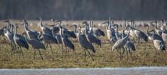 Some of the 40k Sandhill Cranes @ Muscatatuck (flintframer) Tags: ef600mm canoneos7dmarkll dattilo birds wildlife nature wow jacksoncounty flock sandhillcranes indiana