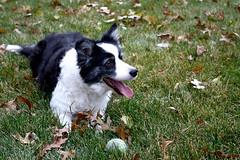 Janie has the tennis ball! (neil.gilmour) Tags: ball leaves grass dog border collie black white green happy tennis tongue columbus ohio
