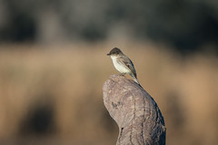 Pest Control (gseloff) Tags: easternphoebe bird feeding flycatcher driftwood nature wildlife horsepenbayou pasadena texas kayak gseloff