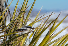 Loggerhead Shrike (Eddie Monson) Tags: bird rnsa red rednaped sapsucker tree