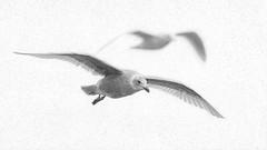 "Seagull Shadow ""Oil Painting"" (RussellK2013) Tags: seagull gull gulls bird bokeh bif birdinflight animal animalplanet animalportrait oilpainting bw blackandwhite wildlife wild nikon nikkor nature ngc nationalgeographicwildlife nationalgeographic 500mmf56epfed 500mm prime photoshop"