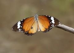 THE PLAIN TIGER - DANAUS CHRYSIPPUS (nikolayloginov) Tags: indonesia butterfly бабочка индонезия