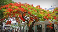 Hastings Street, Noosa (Gillian Everett) Tags: new year queensland noosa decade hastingsstreet 2020 tree poinciana 3 120 2 100